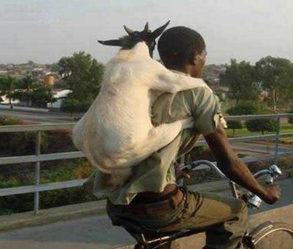 Bakra Eid - Funny Eid ul Azha HD Wallpapers 2013 Collection _