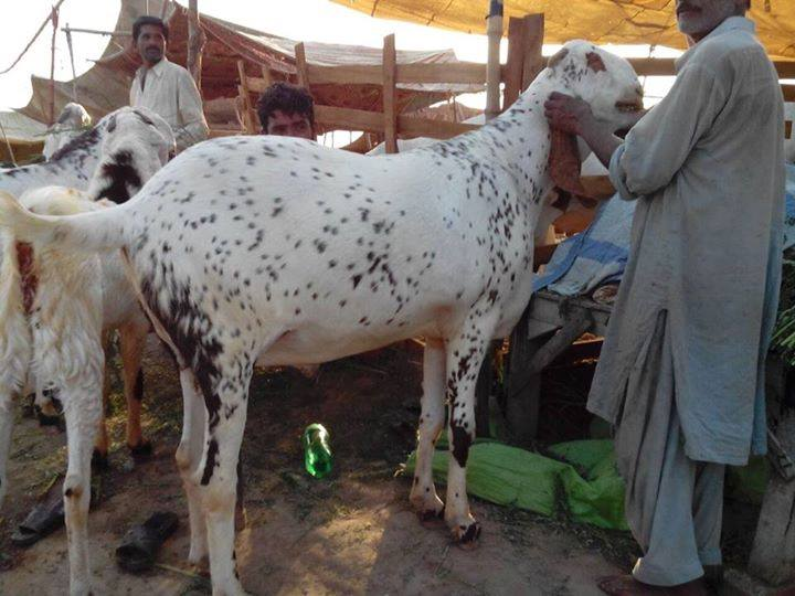 Eid-ul-Adha Funny Bakra pictures