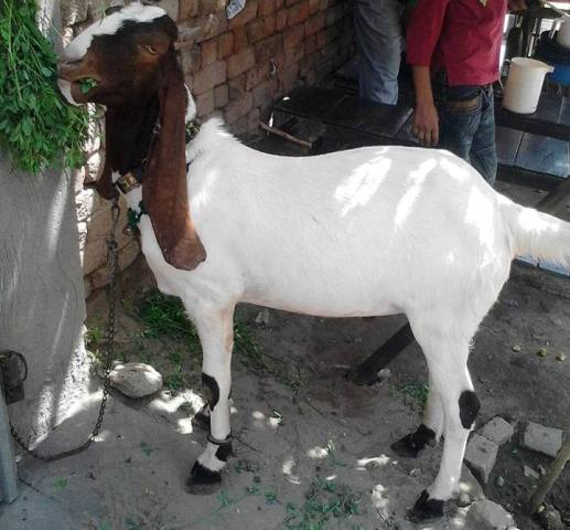 Bakra Eid Funny Pictures