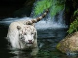 Tiger Animal Wallpapers