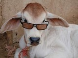 Bakra Eid - Funny Eid ul Azha HD Wallpapers