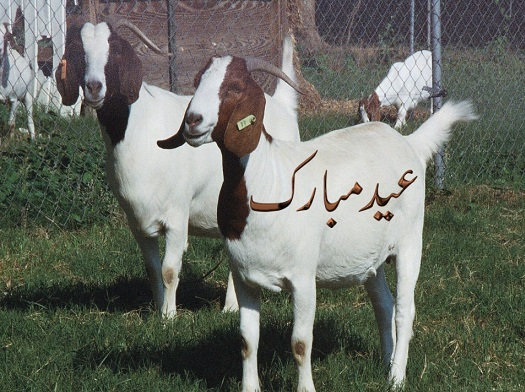 Bakra Eid - Funny Eid ul Azha HD Wallpapers